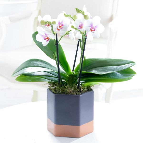 Contemporary Orchid