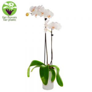 White Orchid - flowers